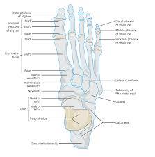 Anatomy Of The Calcaneus Cuboid Anatomy