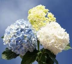 bulk hydrangeas wholesale flowers las vegas wedding flowers bulk flowers