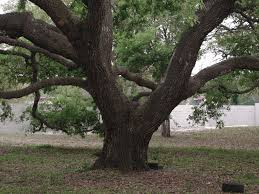 southern live oak rooted stability finding florida