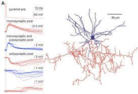 chandelier cells sexual paradox brain