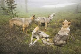 should we bring wolves and cougars back to the adirondack