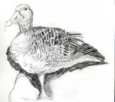 drawing birds in the field kestrelart