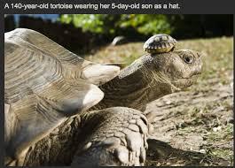 Tortoise Meme - 140 year old tortoise wears son as hat