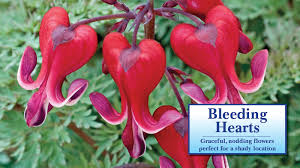 bleeding hearts flowers bleeding hearts direct gardening