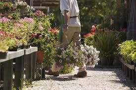 lavender plants for sale buy lavender plants online us