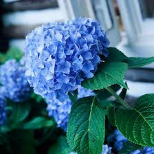 flower hydrangea how to get more hydrangea flowers