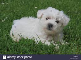 poodle x bichon frise bichon puppy stock photos u0026 bichon puppy stock images alamy