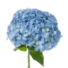 hydrangea flowers blue hydrangea jumbo hydrangea types of flowers flower muse
