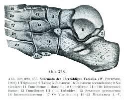 Os Calcaneus Rauber Kopsch解剖学