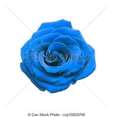 white blue roses blue isolated on white background stock photo search