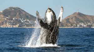 young humpback whale breaches to say hello youtube