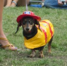 Mini Dachshund Halloween Costumes 20 Doxie Costumes Images Animals Dachshunds