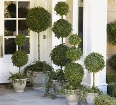 topiary trees topiary foter