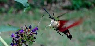 Hummingbird On A Flower - hummingbird moths in the garden today u0027s homeowner