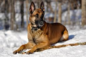 belgian sheepdog breeds belgian malinois the ideal personal protection dog in canis