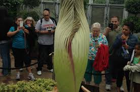 alice the corpse flower is fruiting chicago tonight wttw