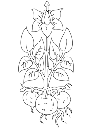 potato plant coloring free printable coloring pages