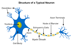 Parts Of A Tissue Seer Training Nerve Tissue
