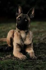 belgian shepherd training video 50 52 if the grimm was a ceo discover more ideas about
