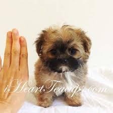 shichon haircuts teddy ruxbin teacup morkie puppy cobby morkie puppy teddy bear