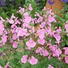 salvia flower salvia flower child farmyard nurseries