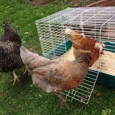 beverly chickens