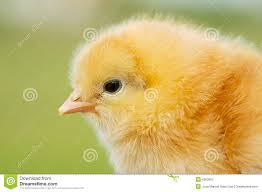 small chicken small chicken stock photo image of baby green young 4363000