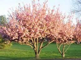 beautiful flowering kwanzan cherry trees