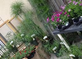 accent plants ornamental grasses hesston plants