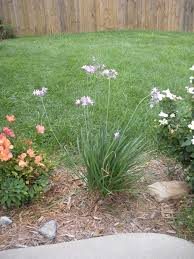 society garlic bluegrass tropics