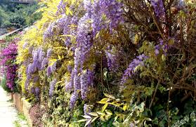 beautiful in spanish wisteria sinensis lavender variety known in spanish as