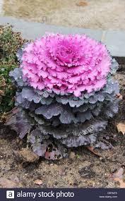 ornamental kale and cabbage in a garden in philadelphia stock