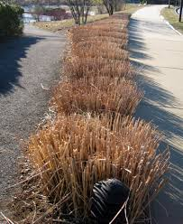 winter tips trimming ornamental grasses