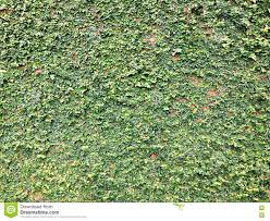 background of velcro green plant climbing on red wall stock photo