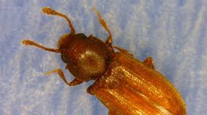 Tiny Brown Bug In Bathroom Foreign Grain Beetle A K A New House Bug Nebraska Extension In