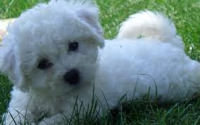 shih tzu with curly hair frequently asked questions about bichon shih tzu shih tzu cute
