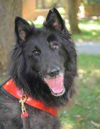 belgian shepherd rescue dogs faq belgian sheepdog rescue trust