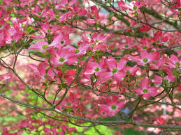 tree with pink flowers types of dogwood trees description pink dogwood flower tree