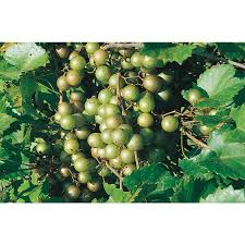 shop 1 gallon muscadine grape small plant l9519 at lowes com