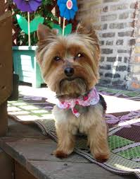 tea cup yorkie hair cuts miniature yorkshire terrier summertime yorkie haircut