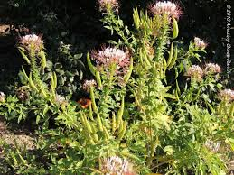 elkhorn native plant nursery gomphrena