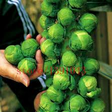 200pcs bag mini cabbage seeds brussel sprouts seed long island
