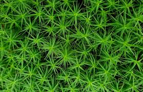 Moss Free Photo Moss Star Moss Forest Plant Free Image On Pixabay