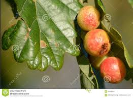 oak tree in autumn with oak gall stock photo image 61828456