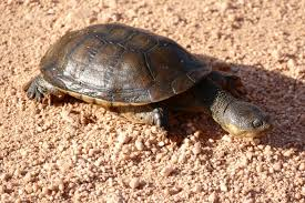 Big-headed pantanal swamp turtle