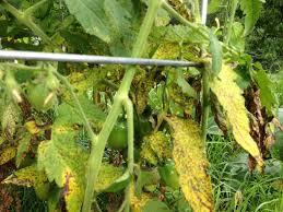 Tomato Plant Wilt Disease - importance and management of fusarium wilt fusarium udum butler