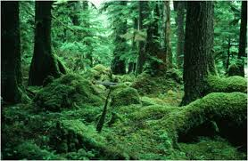 Moss Coastal Temperate Rainforest U2013 Chicken Or Egg Forest Or Moss A