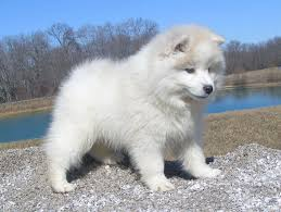 american eskimo dog lab mix american eskimo dog puppies can u0027t resist these cute puppies