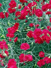 24 best dianthus pinks and sweet williams images on pinterest
