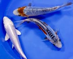 Different Koi Fish Meanings Koi Fish Meaning Is Fortune Or Luck They Also Are Associated